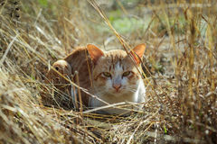 Striped  cat Royalty Free Stock Photography