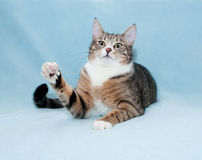 Striped cat paw is lifted on blue Royalty Free Stock Image
