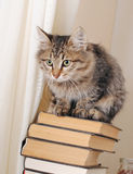 Striped cat on a pile of books. The light curtain on the background stock images