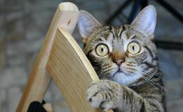 Striped cat playing on chair. Pets at home. Striped cat playing on chair. Pets at home stock image