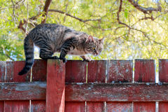 Striped cat on red fence Stock Photo
