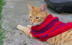 Striped cat with red sweater Stock Images
