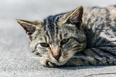 Striped cat. Relaxing on the ground Stock Images