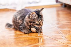 A striped cat is sitting on the floor playing a tangle of thread stock photos