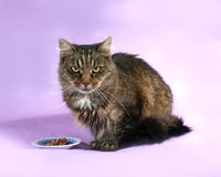Striped cat sitting on purple  before the saucer with food Stock Image