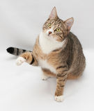 Striped cat sitting, stretching foreleg Stock Photo