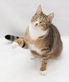 Striped cat sitting, stretching foreleg Stock Photo