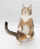 Striped cat sitting, stretching his paw Royalty Free Stock Photos