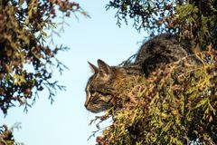 Striped cat sitting on a tree and watching the bird. Tabby cat sitting on a tree and watching the bird Royalty Free Stock Image
