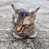 A striped cat sleep on the floor and looking for something. Tabby cat is any domestic cat that has a coat featuring distinctive stripes, dots, lines or Royalty Free Stock Image