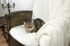 Striped cat sleeping in a chair Royalty Free Stock Image