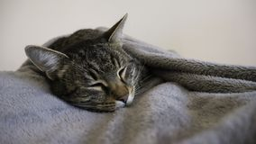 Striped  cat sleeps tucked in a gray blanket