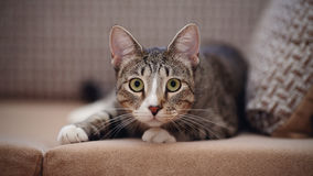 The striped cat on a sofa. Royalty Free Stock Image