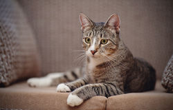 Striped cat on a sofa. Stock Photo