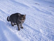 Striped cat with a stern look on the snow. 