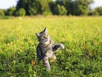 Striped cat walking on green meadow summer clear day. Funny striped cat walking on green meadow summer clear day stock photo