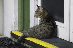One of descendants of the six toe cats at the Ernest Hemingway House in Key West, Florida. Stock Image
