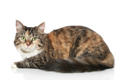 Striped cat on a white background Stock Photo