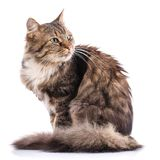 Striped cat on a white background. The cat sits. Portrait of a cat. Studio photo stock image