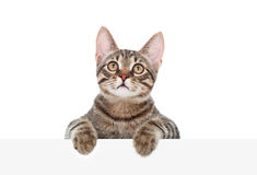 Striped cat on a white banner Stock Images