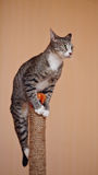 Striped cat with white paws Royalty Free Stock Photos