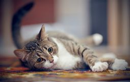 The striped cat with white paws, lies on a carpet. The striped domestic cat with white paws, lies on a carpet royalty free stock photos