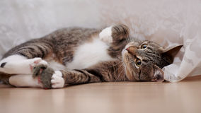 Striped cat. With white paws lies on a floor royalty free stock image