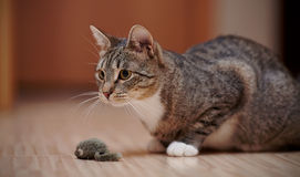 The striped cat with white paws plays with a toy mouse. Royalty Free Stock Photography