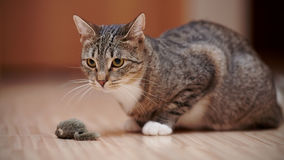 Striped cat with white paws plays with a toy mouse. Stock Photos