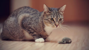Striped cat with white paws plays with a toy mouse. Royalty Free Stock Photography