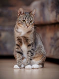 The striped cat with white paws Royalty Free Stock Photo