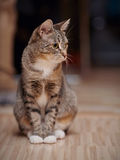 Striped cat with white paws and yellow eyes Stock Photography