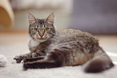 The striped cat with yellow eyes Royalty Free Stock Image