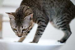 Striped cat Stock Photos