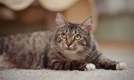 Striped cat with yellow eyes, white paws and white moustaches. Royalty Free Stock Images