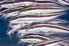 Striped Catfish. Close-up image of a school of venomous Striped Catfish photographed while diving in Mabul, Malaysia stock images