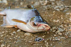 Striped catfish fishing Royalty Free Stock Photos