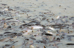 STRIPED CATFISH in the river Stock Images