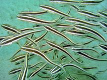 Striped Catfish School Stock Images
