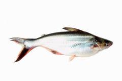 Striped catfish Stock Photos