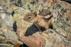 Striped chimpunk on the hiking trail of Canadian Rockies. Canadian squirrel, little cutie, curious sight, mountain wildlife royalty free stock image