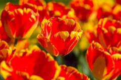 Striped color tulips in springtime Stock Images