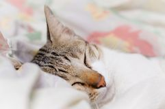 Striped cat is sleeping in blanket at midnight. Striped and cream cat is sleeping in the blanket at midnight stock photos