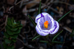 Striped Crocus. A bold, solo, striped crocus standing beautifully Stock Photography