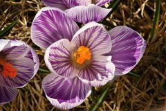 Striped crocus Royalty Free Stock Photography