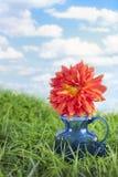 Striped dalia in blue vase Stock Photo