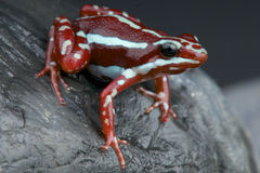 Striped dart frog Royalty Free Stock Photo