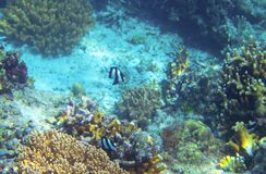 Striped dascillus in coral reef underwater photo. Tropical fish in natural environment. Coral fish undersea