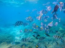 Striped dascillus fish school closeup. Coral reef underwater landscape. Tropical fishes in blue water