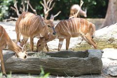 Striped deers Royalty Free Stock Photography